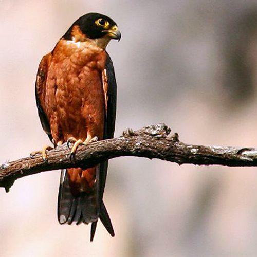 Tipo de halcón: Falco severus