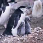 Familia de pingüinos