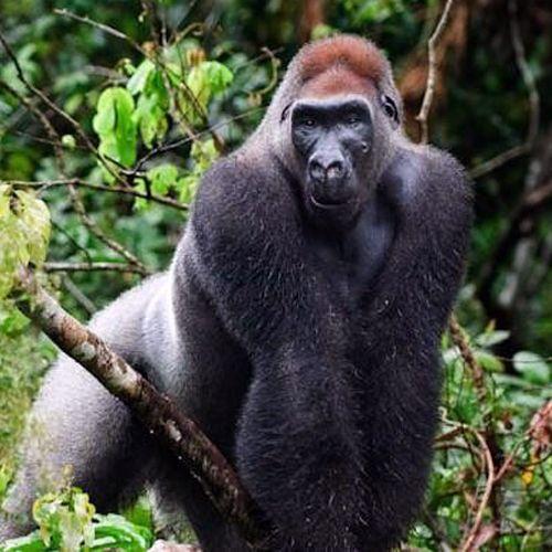 Tipo de gorilla beringei