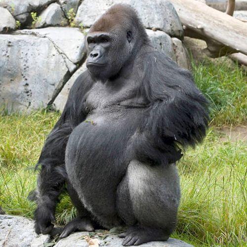 Especie de Gorila