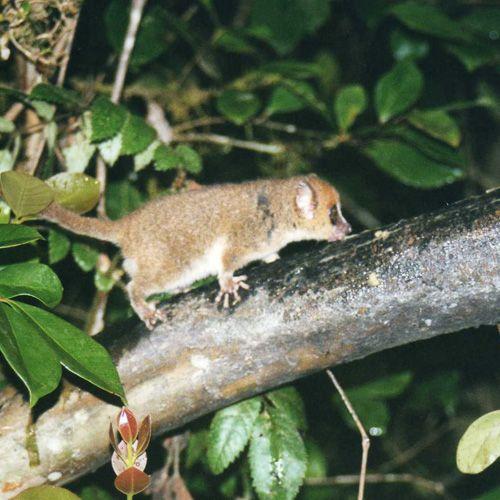 Tipo de lémur: Microcebus arnholdi