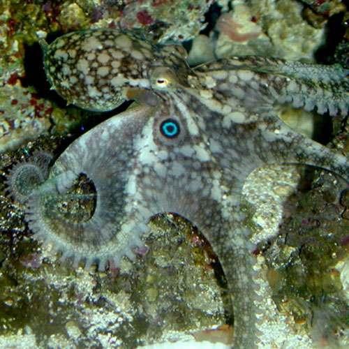 Octopus bimaculoides