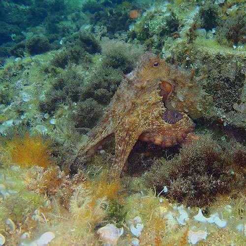 Tipo de pulpo octopus vulgaris