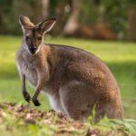 Otro tipo de canguro