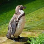 Otro tipo de pingüino