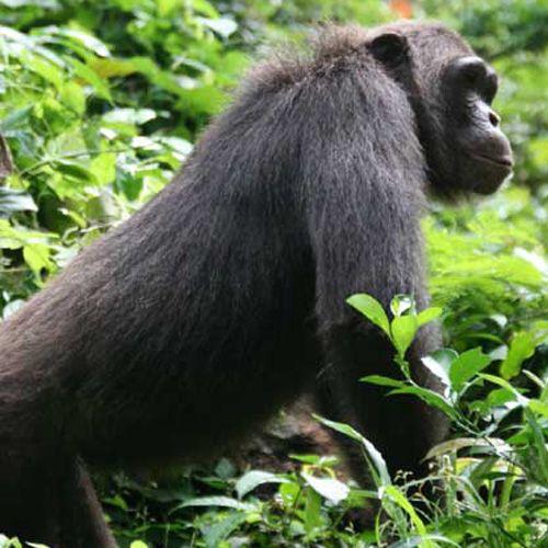 Tipo de chimpancé común
