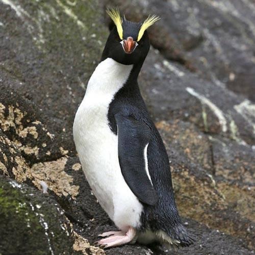 Especie Pingüino de Scatler