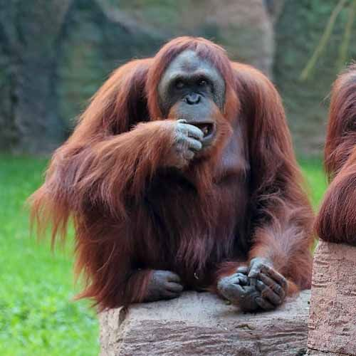 Especie de orangután Pongo pygmaeus