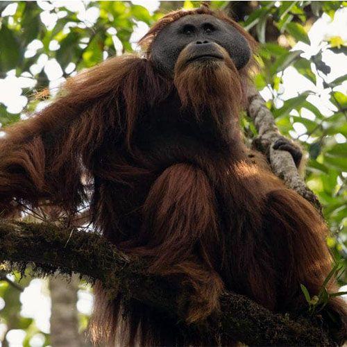Tipo de orangután pongo tapanuliensis