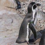 Tipo de pingüino