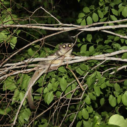 Tipo de lémur: Cheirogaleus adipicaudatus