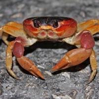 Especie cangrejo destacado