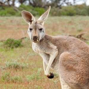 canguro destacado