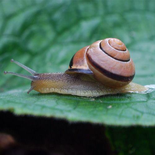 Especies de caracol moro