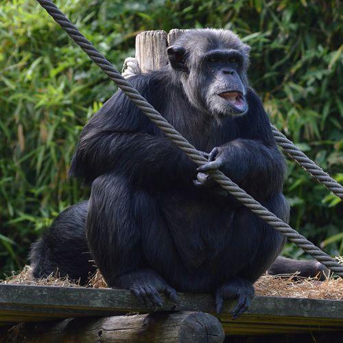 Especie de chimpancé común