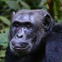 Especies de chimpancé
