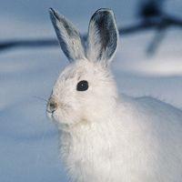 Especies de conejos