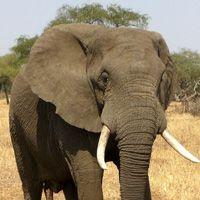 Especies de elefante