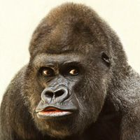 Especies de gorila