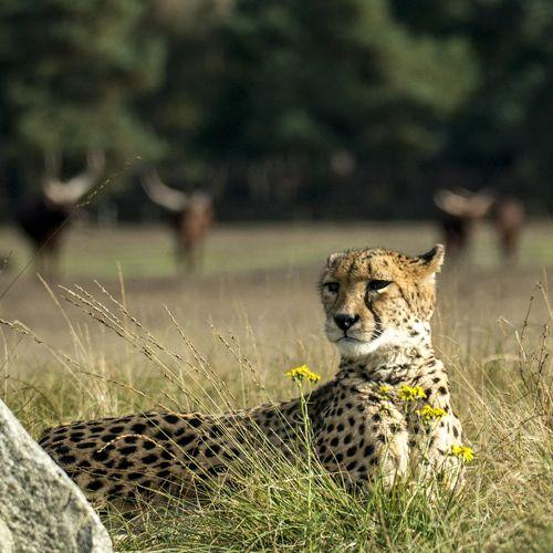 Tipos de guepardo