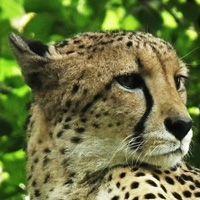 Especies de guepardo