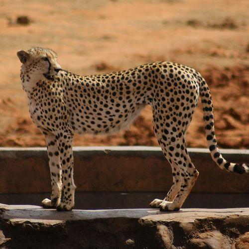 Guepardo o cheeta