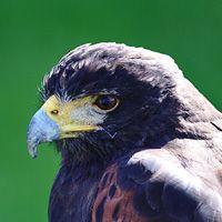 Especies de halcón