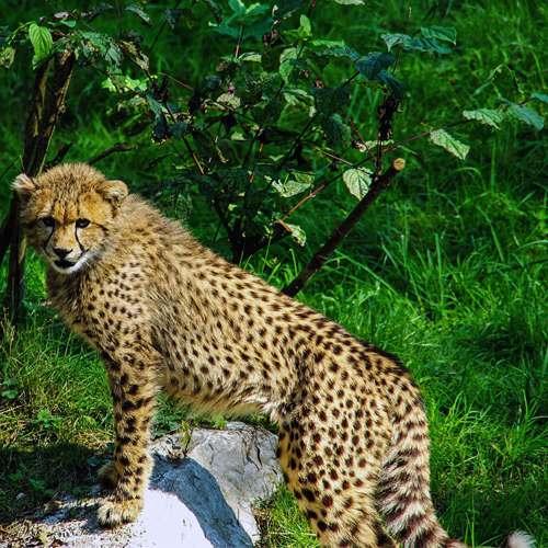 Joven guepardo