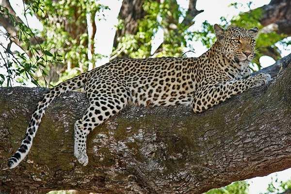 Especie de leopardo africano