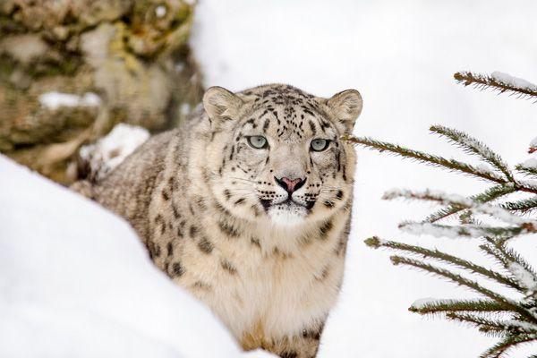 Leopardo del Caucaso