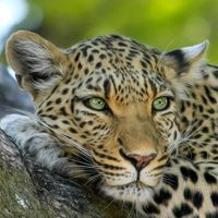 Especies de leopardo