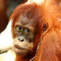 Especies de orangután