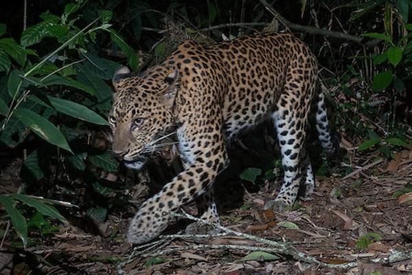 Tipo de leopardo de Indochina