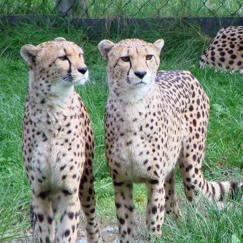 Especies de guepardos