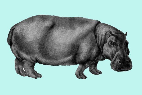 Tipo de hipopótamo europeo