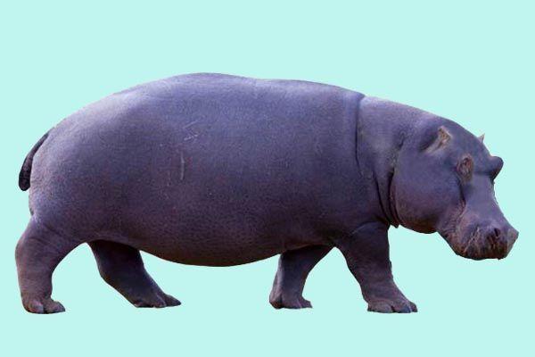 Hippopotamus gorgops