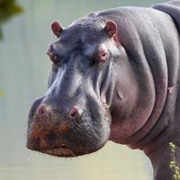 Especies de hipopótamos