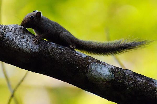 Ardilla pigmea neotropical