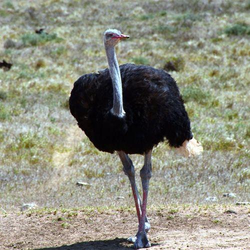 Especie de avestruz de cuello azul