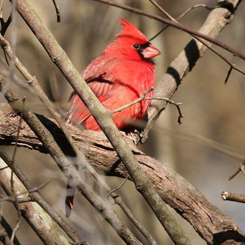 Tipos de aves. Cardenal