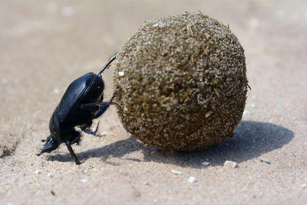 Especie de escarabajo pelotero