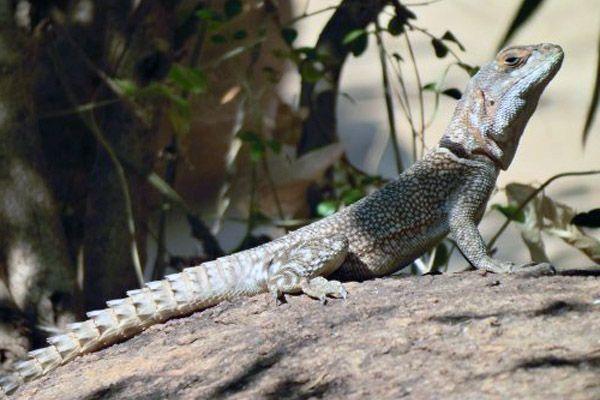 Iguana de Madagascar