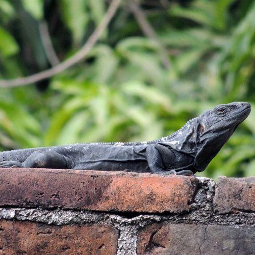 Iguana de cola espinosa