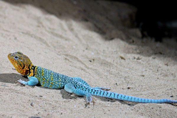 Especie de iguana de collar