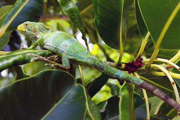 Iguana listada de Fiji