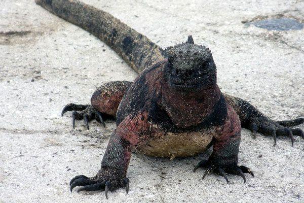 Especie de iguana marina