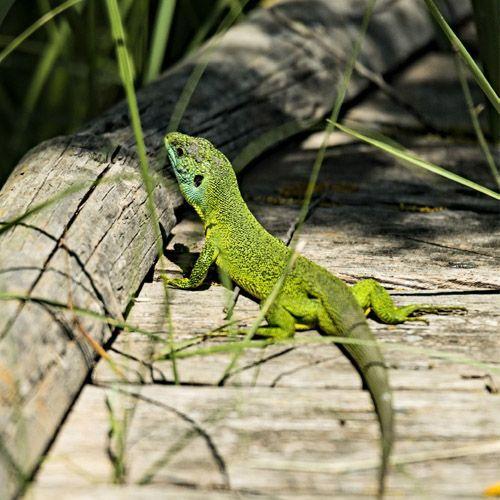 Tipo de lagarto verde