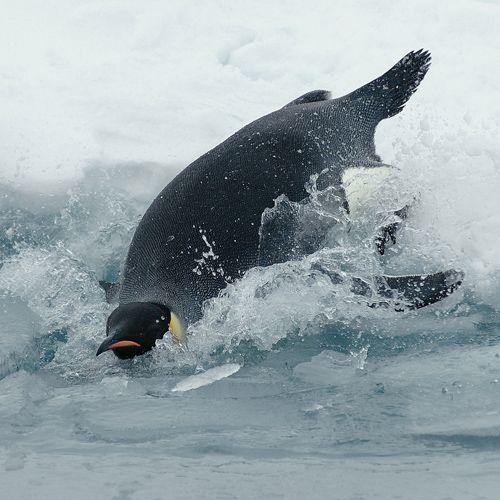 Especies de aves. Pingüino emperador