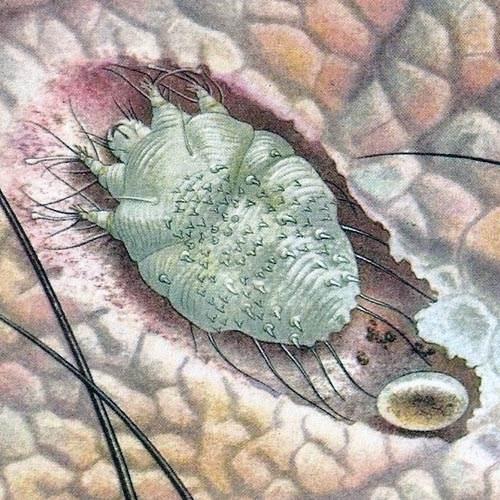 Especie de ácaro de la sarna