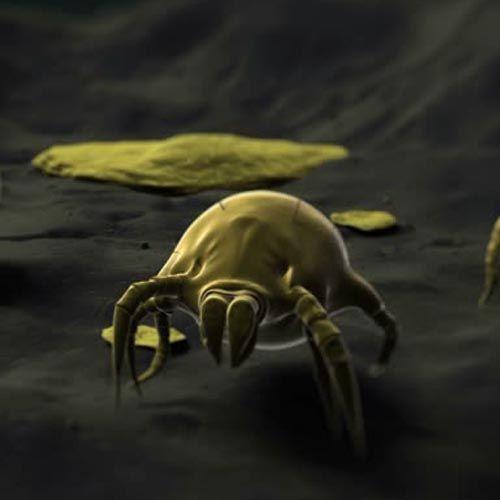 Tipo de ácaros del polvo
